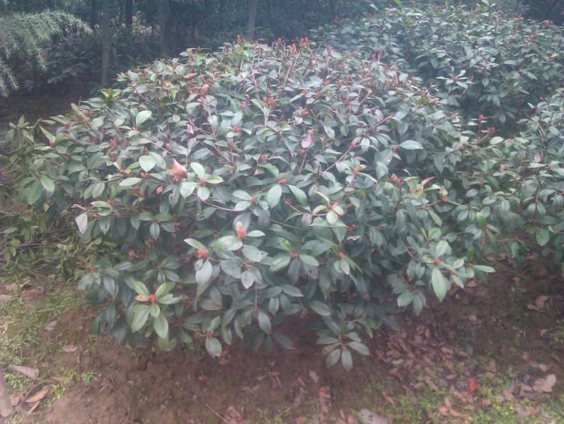 供应1米红叶石楠球