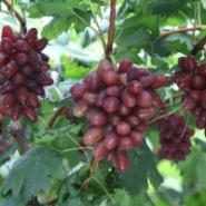 黑巴拉多111葡萄图片