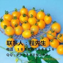 供应金玉小番茄种子水果番茄种子