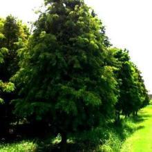 供应苗木销售产品:墨西哥落羽杉
