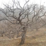 百年石榴古树图片