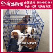 东莞哪里有卖英国斗牛犬纯种斗牛犬图片