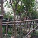 揭阳红花风铃木种植批发图片