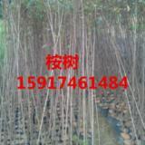 供应桉树袋苗,桉树种苗,桉树供应商,桉树批发商,桉树苗价格,桉树报价