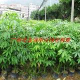 供应30公分高木棉批发商,绿化苗木批发商,30公分高乐昌含笑树苗