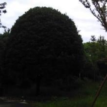 供应成都3米直径金桂地笼桂花,成都3米直径金桂地笼桂花价格