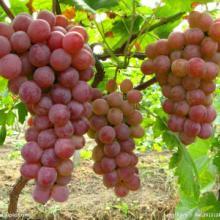 供应渭南红提葡萄