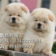 广州哪里有出售松狮犬广州哪家狗场信誉比较好松狮幼犬卖多少钱图片