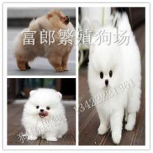广州哪里有出售宠物狗 赛级品质博美幼犬的价格多少 富郎狗场图片