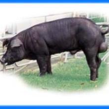 供应原种苏太公猪,莱芜黑公猪,北京黑公猪