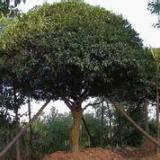 供应广西精品树移植价格多少,广西精品树移植多少钱