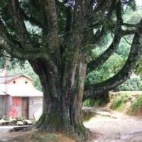 供应精品大树移植,精品大树移植法,精品大树移植技术