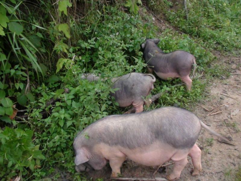 供应蓝塘土猪肉