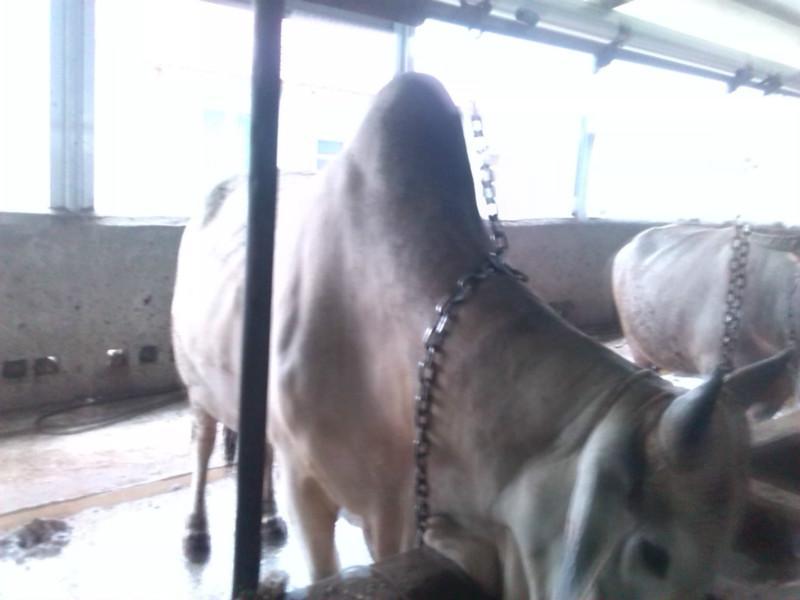 供应厦门骆驼牛