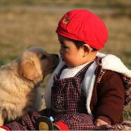 美系金毛纯种健康哪里有卖猎犬图片