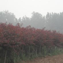 供应工程绿化苗木