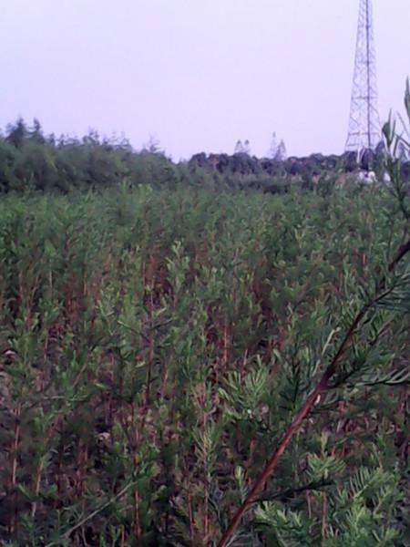 供应水杉小苗优质种苗批发图片