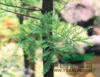 供应江苏池杉树报价,江苏池杉树价格,江苏池杉树批发图片