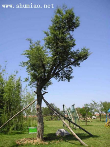 供应朴树优质种苗批发图片