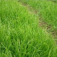 草坪卷冷季型草坪卷河北草坪卖草皮厂家15831125292批发