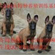 比利时血统马犬价格图片