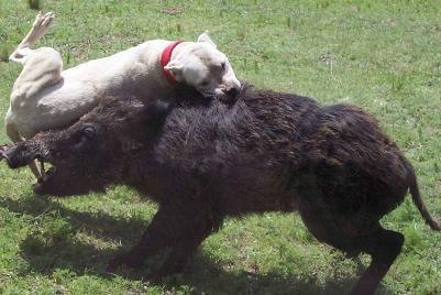 供应打野猪的杜高犬厂家图片