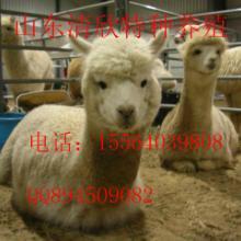 供应吉林羊驼,吉林羊驼养殖,吉林羊驼出租图片