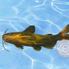 供应黄颡鱼鱼苗图片