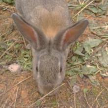 供应獭兔 獭兔种兔 獭兔养殖前景獭兔养殖场 獭兔最新价格批发