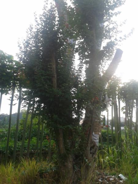 随州市三角枫种植基地