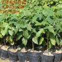 华南最大的优质澳洲火焰木苗种植基图片