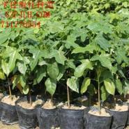 广东广州澳洲火焰木苗价格图片