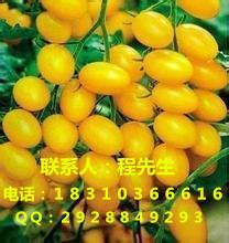供应樱桃小番茄种子圣女果番茄种子小西红柿种子价格图片