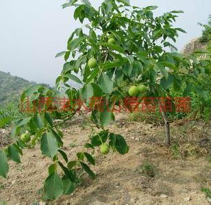 优质3至10公分核桃树苗图片