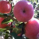 供应山西富士矮化苹果苗基地