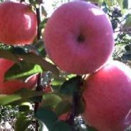 运城地区2公分至10公分苹果树苗图片