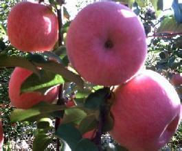 2公分至10公分苹果树批发图片