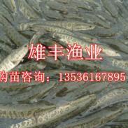 化州优质木鱼苗生鱼鱼苗图片