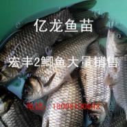 丰产鲫鱼苗罗非鱼苗2015图片