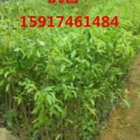 供应广州哪里有沉香小苗,广州沉香种苗基地,广州哪里的沉香袋苗最便宜
