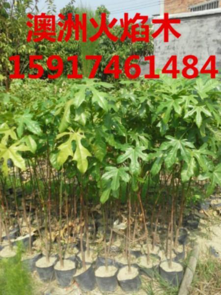 供应春分优惠澳洲火焰木,广州市澳洲火焰木市场报价,广州市澳洲火焰木价