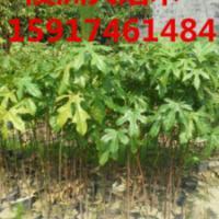 供应澳洲火焰木种苗清货价,广州澳洲火焰木价钱,广东澳洲火焰木苗木价格