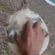 野生甲鱼养殖价格图片