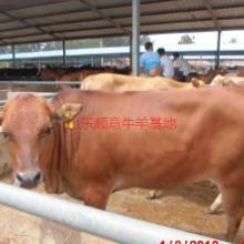 供应用于育肥与繁殖的肉牛的饲养管理技术批发