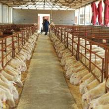 供应波尔山羊幼羊价格