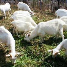 供应白山羊价格今年行情价格--肉羊价格