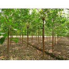 供应上万棵重阳木销售,8公分重阳木价格,江苏重阳木最新报价