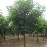 供应重阳木的价格-安徽批发重阳木的价格-大量出售重阳木供货商