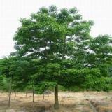 供应出售重阳木-山东大量出售重阳木-山东重阳木种子价格