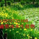 供应黄菖蒲苗种植方法,千屈菜苗,芦竹苗,睡莲苗,芦苇苗,荷花苗等种植